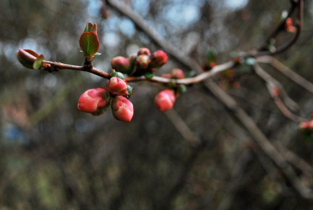 blooming buds